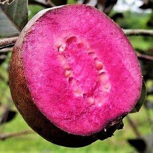 Goiaba Polpa, Flor e Folha ROXA - Produz em Vaso