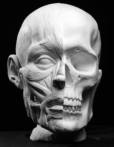 Ecorche Facial Muscles Anatomical Artist Reference