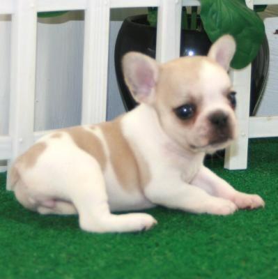 French+Bulldog+Puppies+for+Adoption | good french bulldog puppies for adoption - Bedford