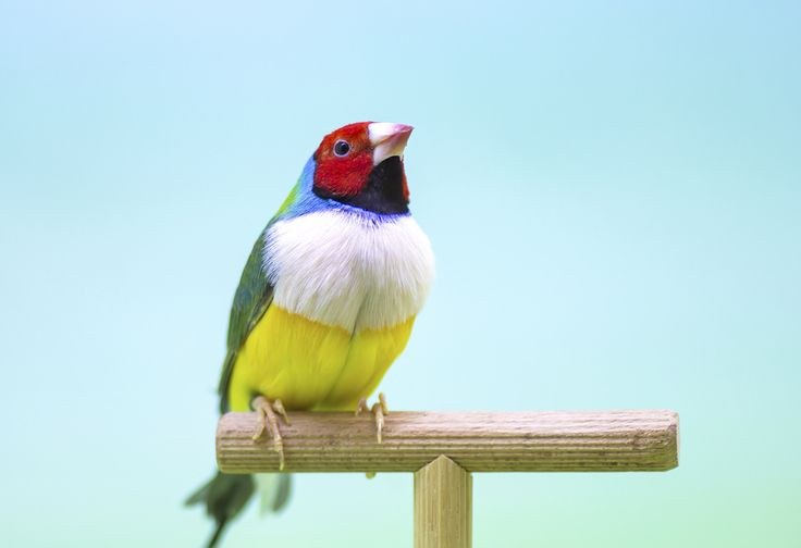 Lady Gouldian Finches for Sale| The Finch Farm