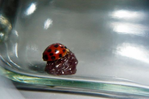 Lady bugs love raisins. Attract them to your aphid problem by using a raisin.