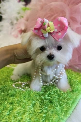 teacup maltese, teacup maltese for sale, teacup maltese for sale south Florida…