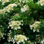 Was ist Osage Orange – Informationen über Osage Orangenbäume   – gardening