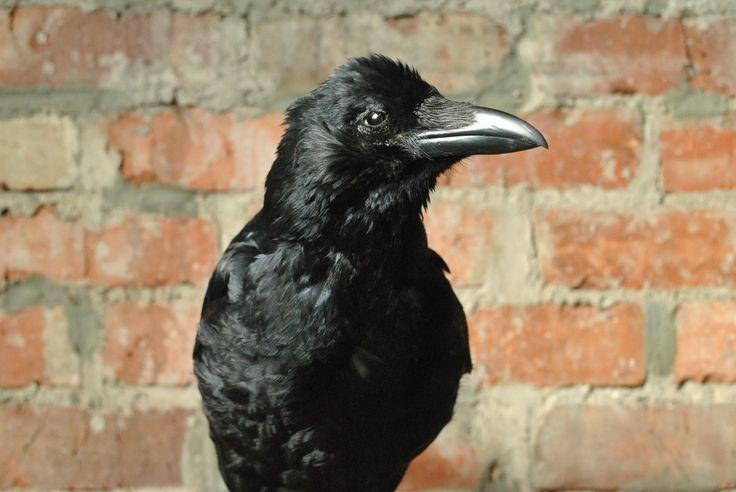 Taxidermy Carrion Crow