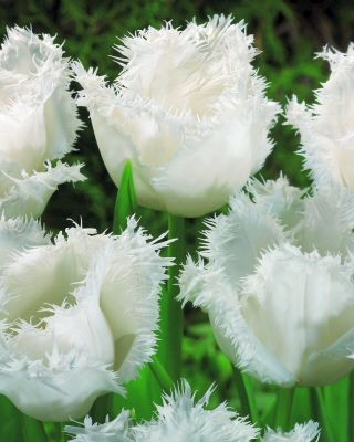 Fringed Tulip Honeymoon from Bloms Bulbs (as you can see in Spring is Pashley Manor Gardens in Sussex, England)