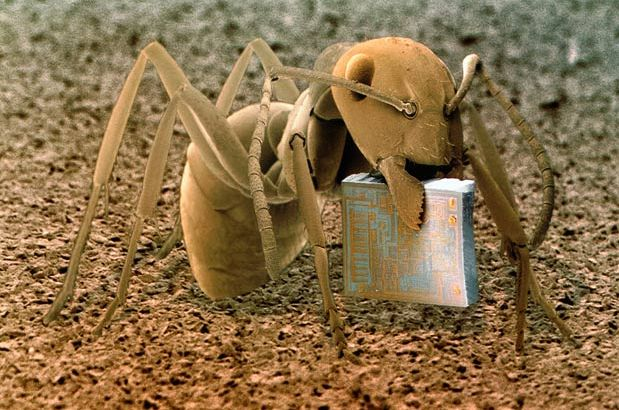 Heathland (Wood) Ant (Formica fusca) Holding a Microchip - This species of ant is of the family Formicidae - Image : © SCIENCE PHOTO LIBRARY / BARCROFT MEDIA