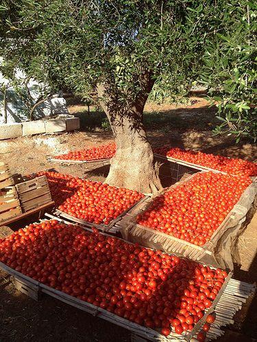 Raccolta di pomodori in Puglia