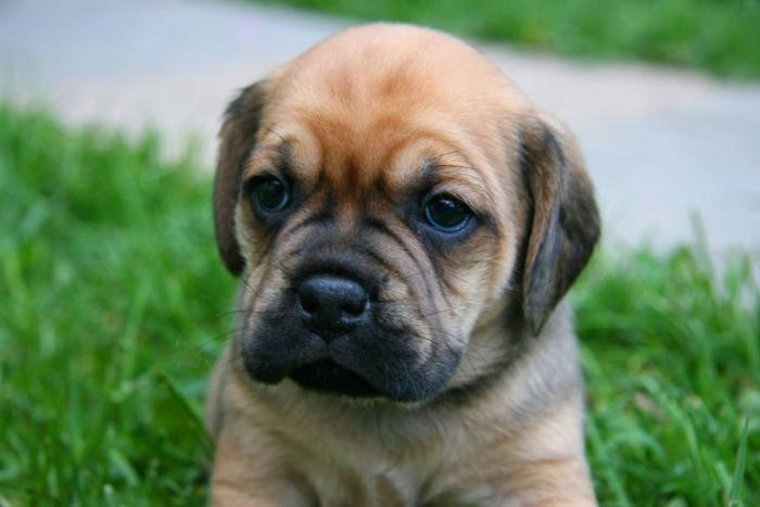 Image detail for -Adorable Puggle Puppies for sale in Lucknow, Ontario Classifieds ...