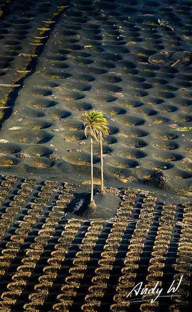 Lanzarote - Islas Canarias. A palm tree (Phoenix canariensis) receives some sun light in the wine area of La Geria on Lanzarote. The winegrowers plant the vine in holes or build a small wall in a half circle to protect the plants from the strong trade winds.