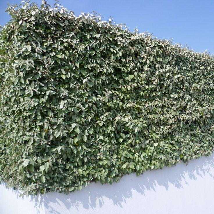 17 best id es propos de eleagnus sur pinterest prunus for Catalogue plantes et arbustes