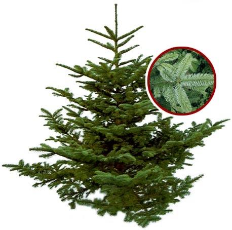 Hier stellen wir vor: Die Nobilistanne. Sie zählt aufgrund der langen Haltbarkeit und des langsameren Wachstums gegenüber anderen Baumsorten zu den eher teureren Weihnachtsbäumen. Der dichte Wuchs und der angenehme ätherische Duft machen sie sehr beliebt. Ihre Nadeln sind grünblau bis silbergrau. Die Nobilistanne ist fast zu 100 % nadelfest, weshalb sie häufig als Schnittgrün bei Gestecken oder in Geschäftsräumen Verwendung findet.