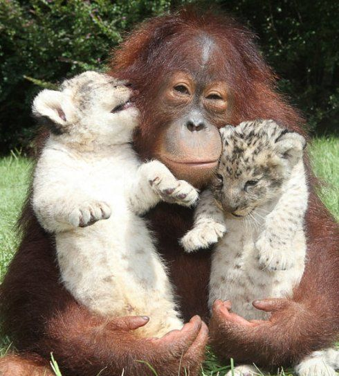 Orangutan cuddles two baby lion cubs at Myrtle Beach Safari in South Carolina.
