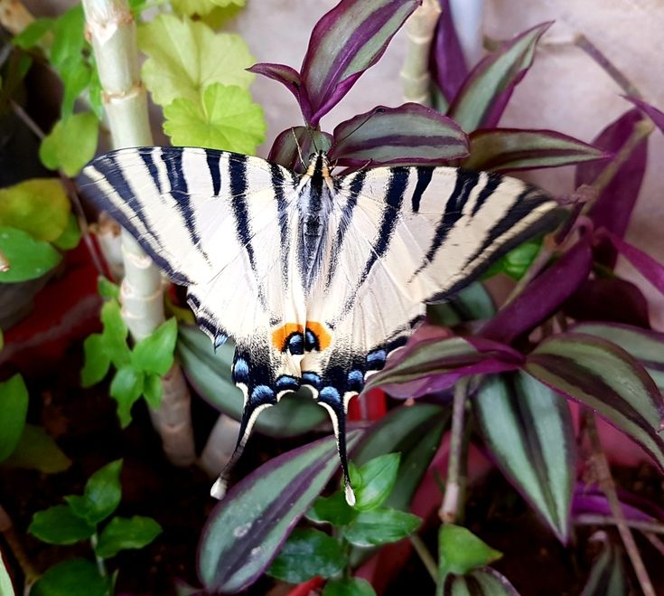 scarce swallowtail iphiclides podalirius is a palearctic on extraordinary garden path and walkway design ideas and remodel two main keys id=41332