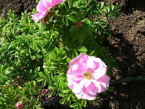 102 Best Roses For Zone 3 Images On Pinterest Roses