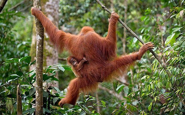 tree surgeons to teach Sumatran orangutan rescuers how to climb trees ...