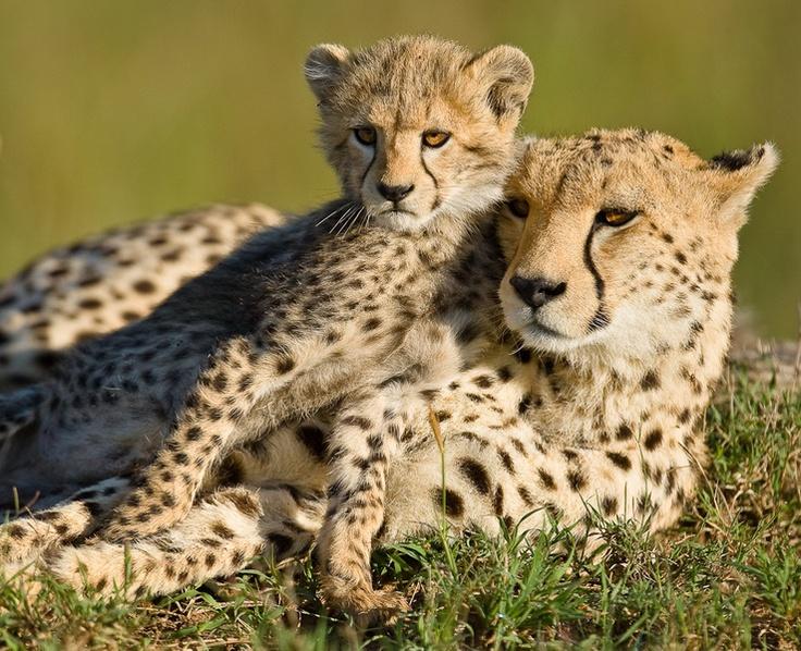 mama and baby cheetah