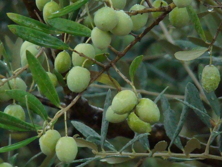 J'avais déjà fait un article sur la préparation de ces olives , en voici une plus détaillée Cette recette m'a été offerte par Maryse une vénérable dame de Cotignac Cette version est un peu plus détaillée Pour réussir ces olives parfaitement il faut impérativement...