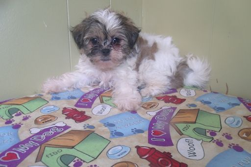 Zuchon puppy for sale in PATERSON, NJ. ADN-49215 on PuppyFinder.com Gender: Female. Age: 8 Weeks Old