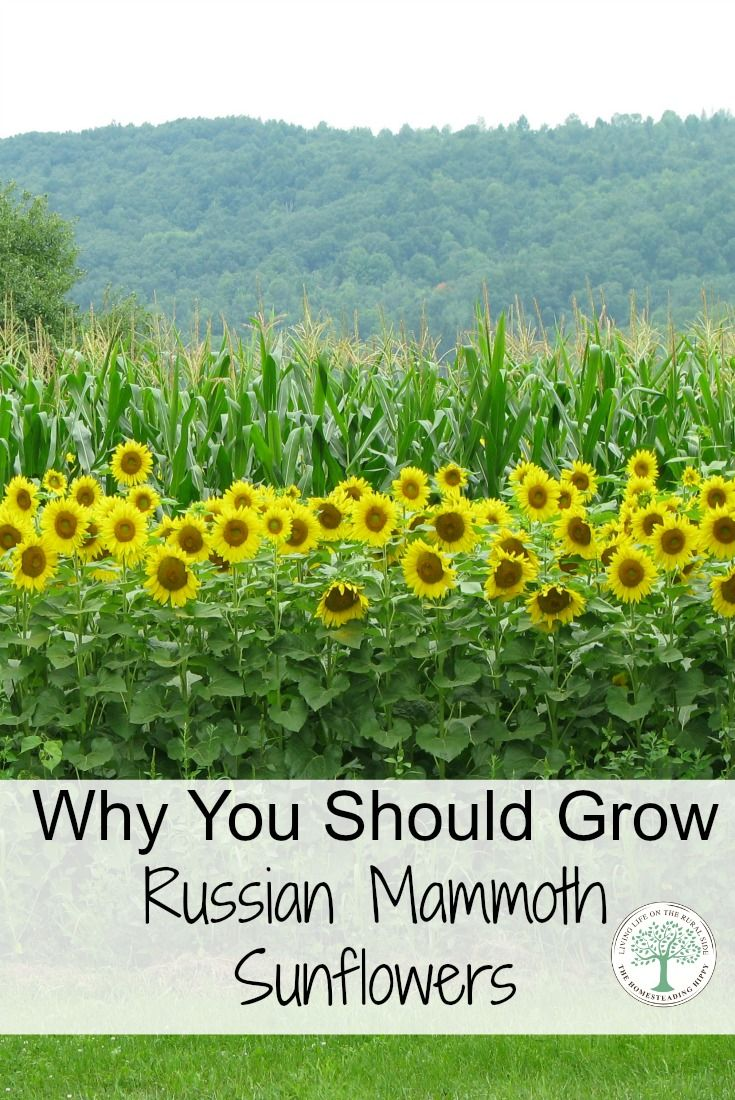 Sunflowers can add such beauty to a garden. They are also very useful for food for you and your flock! See why you should try Russian Mammoth Sunflowers! The Homesteading Hippy via @homesteadhippy