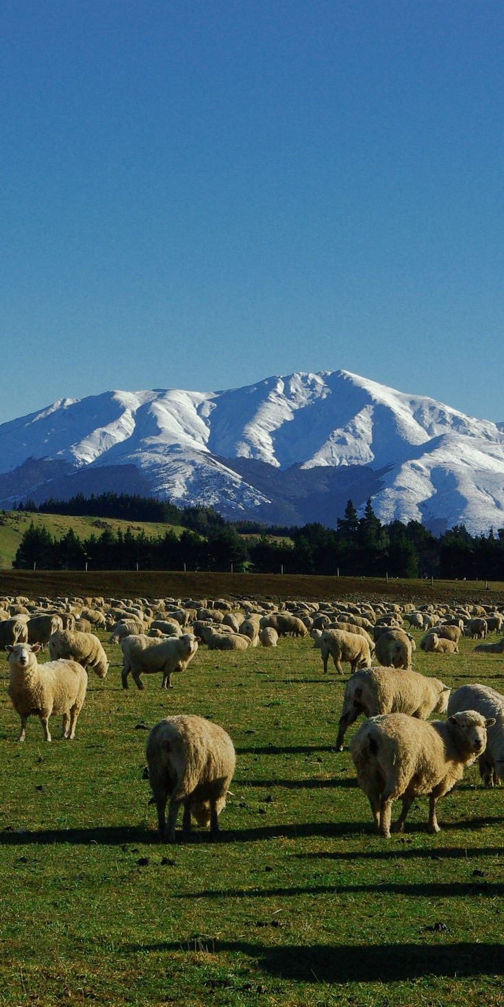 Sheep and snow - The perfect depiction of New Zealand