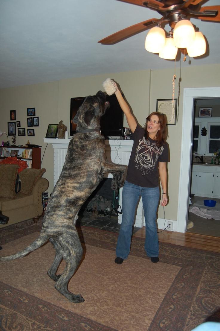 Viggo, my English Mastiff, still growing~~~