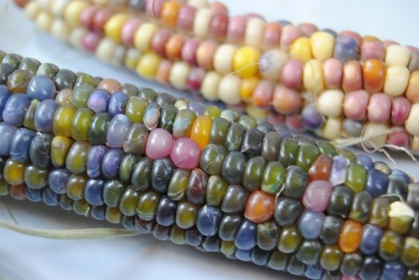 INTROVABILE Mais Glass Gem Corn Mais raro, mais indiani, glass gem corn, mais ornamentale [] - 1.50EUR : Tuttosemi, Approvato da Madre Natura
