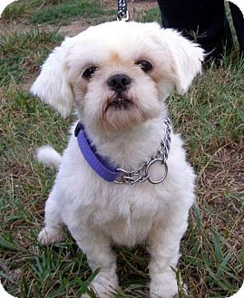 shih tzu rescue va best 25 shih tzu maltese mix ideas on pinterest maltese 7697