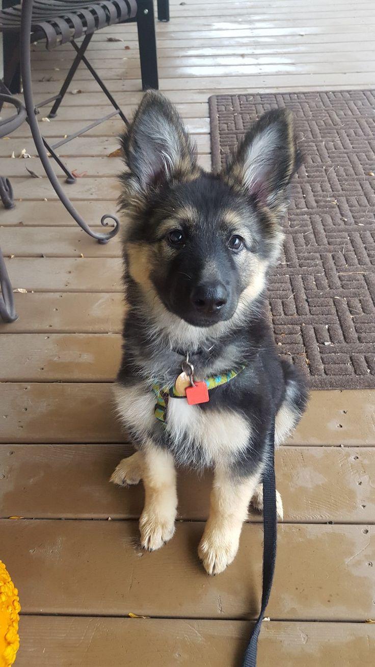 German Shepherd Dog Ursa 12Weeks old - ears up! Grand Rapids, MI