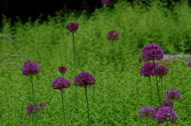 """What Is Landscape Design?: """"Texture"""" in a landscape design context usually refers not to how something feels, but to how it looks. Here, the texture of the alliums contrasts nicely with that of the ferns."""