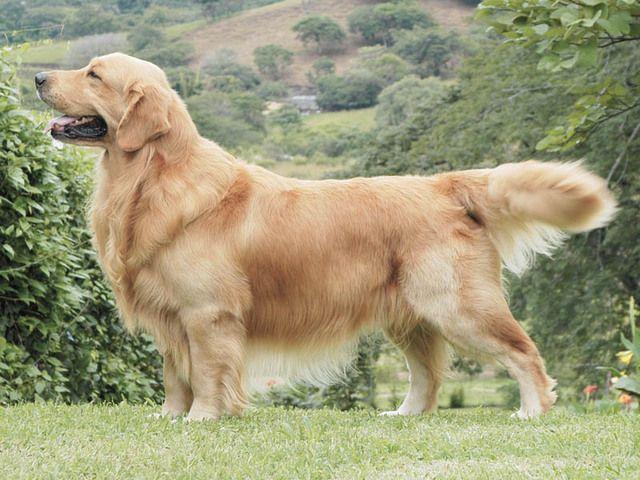 Photo d'un chien de race Golden Retriever