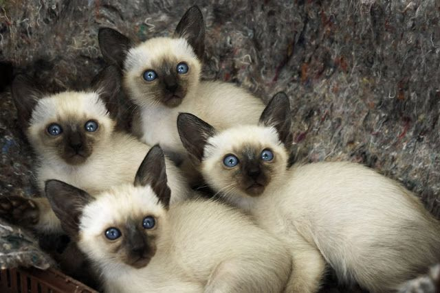 Everything You Need To Know About Siamese Cat Siamese Kittens Cats Beautiful Cats