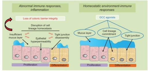GCC agonists as ulcerative colitis therapeutics.Notes: In ulcerative colitis, abnormal immune responses and colonic inflammation reflect inappropriate luminal antigen exposure for disruption of the mucosal barrier integrity (left panel). Pathogenetic mechanisms underlying loss of intestinal barrier function, in turn, include mutually reinforcing processes of cell lineage imbalance, defective mucus layer, tight junction disassembly and epithelial cell hyper-permeability (left panel)…