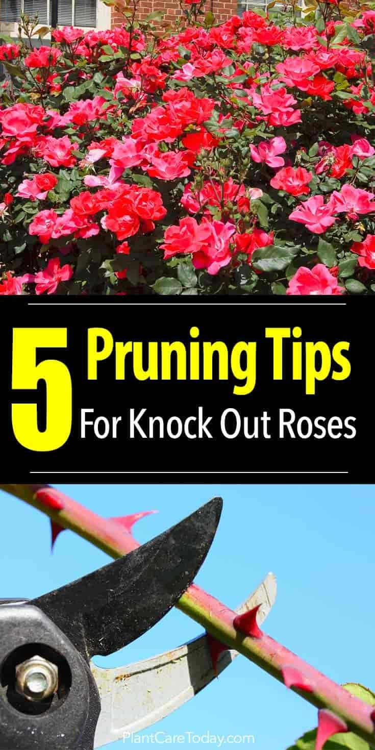 How To Prune Knockout Roses Knockout Roses Knockout Roses Care Pruning Knockout Roses
