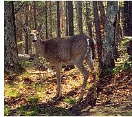 Guided Deer and bear hunts at Buck Sporting Lodge,Upper Peninsula of MI in the Hiawatha National Forest