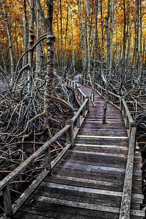 Mangrove Forest  Footpath . Thailand