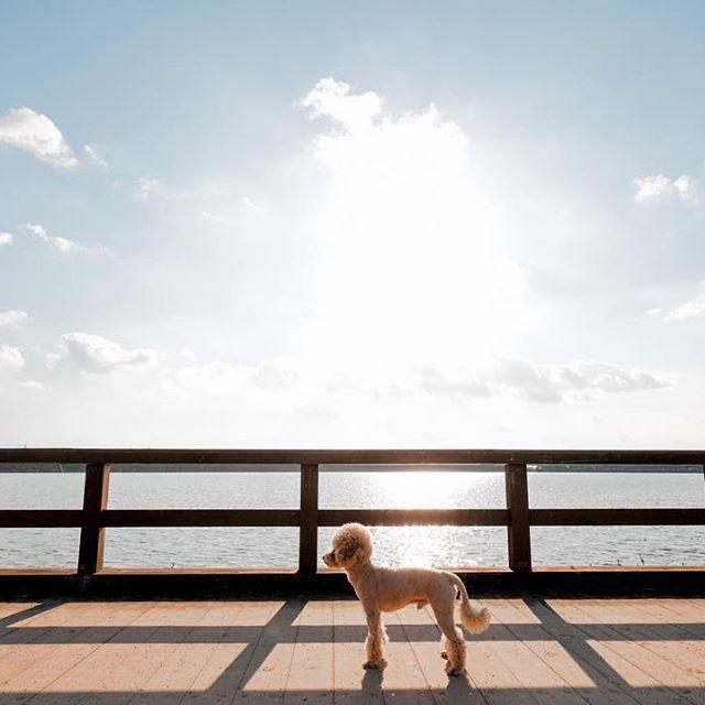 ニッキ2017年📷  Nikki🐩  Kobe Japan.  XPRO-2 XF10-24mm  #toypoodle  #poodle #poodlelover #dog #dogstagram #instagramjapan #instagram #dogs #dogoftheday #dogsofinstaworld  #fujifilm_x #5yearsofxseries #ファインダー越しの私の世界 #トイプードル #トイプードル部 #トイプー #portraitmood #カメラ男子 #カメラ女子 #愛犬 #natgeoyourshot #doglife #写真好きな人と繋がりたい #jhp夢 #fujifilm_xseries #写真 #カメラ #yourshotphotographer #今日もx日和 #ポートレート