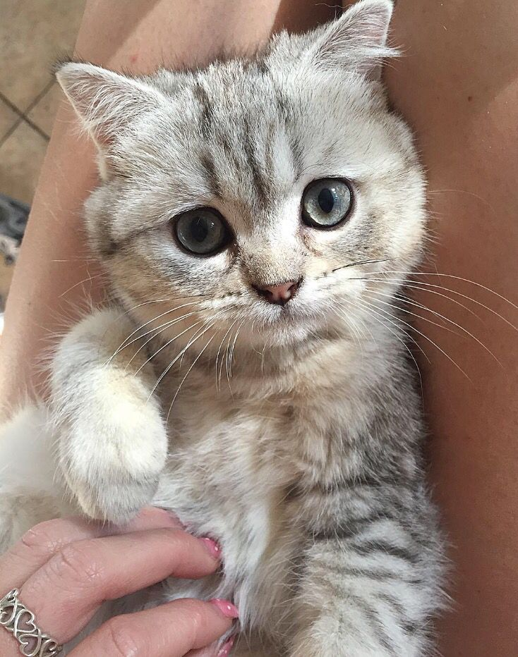 Ami Chanel, Scottish fold, grey tabby kitten.
