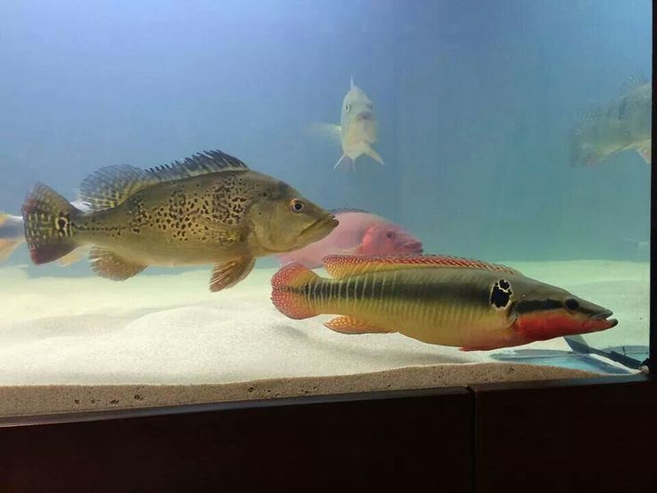 Peacock bass pike cichlid fish go deep pinterest for Bass fish tank