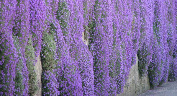 VIDEO: Peter Dowdall on the merry appeal of the rock-climbing campanula | Irish Examiner
