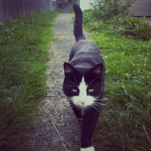 #autumn #cat #nature #road #catsofinstagram #blackandwhite #grass #island #dream #garden #dirt #gravel #paw #cute #whisker #animal #pet #confident #strut
