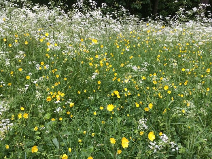 "@SBoutal: ""Cow parsley and buttercups. Ingredients for a very nice verge."""