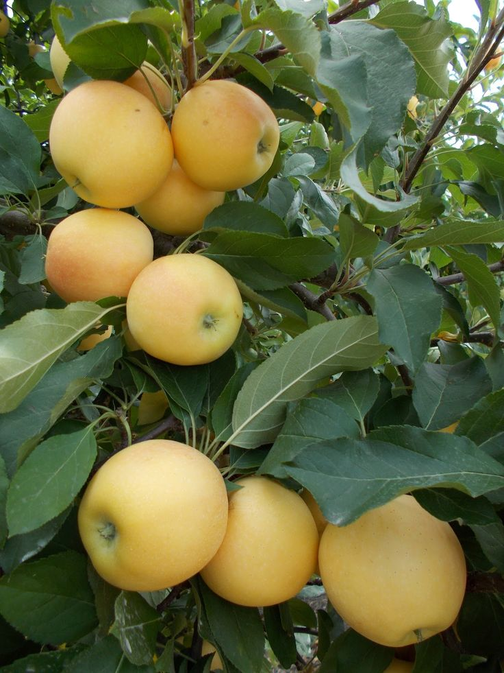 Yellow Gala apples