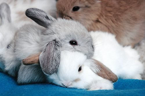 French mini lop bunnies! This is what my little Cuddles and Thumper looked like when they were young. :)