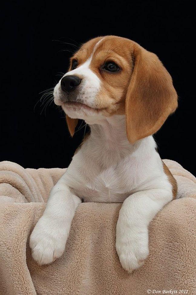 Beagle in a box, Don Burkett Photography