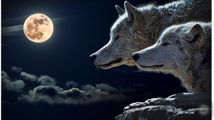 """Un indio cherokee le contaba a su nieto la batalla que se desarrolla en el interior de las personas.   Decía: dentro de cada uno de nosotros tiene lugar un duro enfrentamiento entre dos lobos. Uno de ellos es malvado, violento, agresivo.   El otro es amable, solidario, generoso, justo.   El pequeño se quedó pensativo y finalmente le preguntó a su abuelo:   """"Díme abuelo, ¿cuál de los dos lobos ganará?"""".   El viejo cherokee respondió:  """"aquel al que tú alimentes"""".  (foto #pixabay)"""
