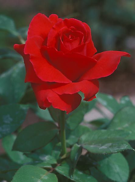 Another photo of the glorious Mr. Lincoln hybrid tea rose