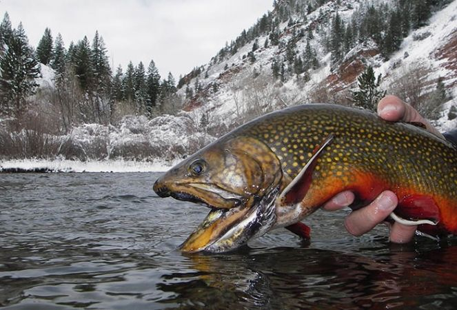Fly fishing for trout driverlayer search engine for Trout fishing basics