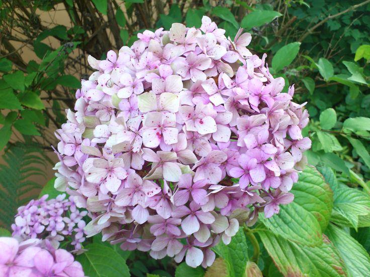 Hydrangea-Schneeballhortensien, schön bis in den Spätherbst, wenn die Blüten dann trocken + braun werden + für Trockensträuße genutzt werden