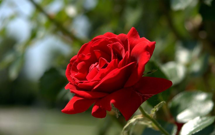 single red rose in garden - Pesquisa Google