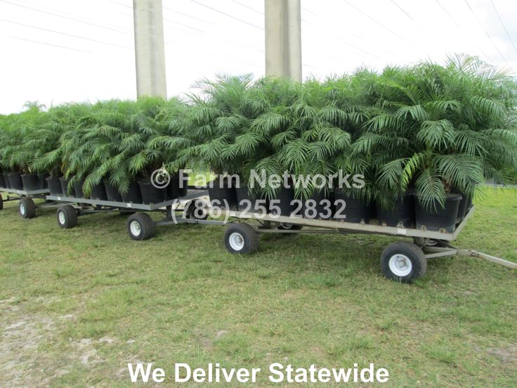 Robellini Palm Tree-Florida